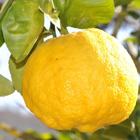 citron-solution-naturelle